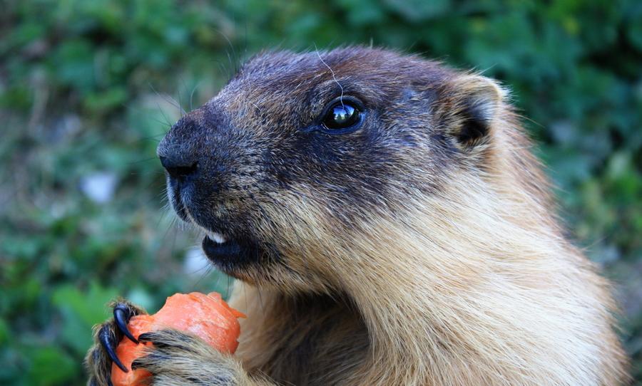 Marmot Plague